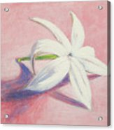 Portrait Of The Jasmine Flower Acrylic Print
