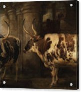Portrait Of Two Oxen - The Property Of The Earl Of Powis Acrylic Print