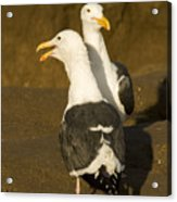 Portrait Of Two Seagulls On A Beach Acrylic Print