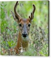 Portriat Of Male Deer Acrylic Print