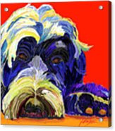 Portugese Water Dog 1 Acrylic Print