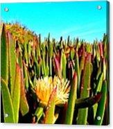 Portuguese Coastal Plants  Acrylic Print