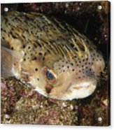 Porupinefish Close-up Portrait Sleeping Acrylic Print by James Forte