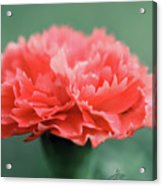 Posh Carnation Acrylic Print