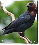 Posing Brown-headed Cowbird Acrylic Print