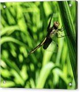 Posing Dragonfly 2 Acrylic Print