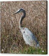 Posing Heron Acrylic Print