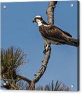 Posing Osprey Acrylic Print