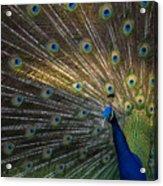 Posing Peacock Acrylic Print