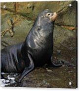 Posing Sea Lion Acrylic Print