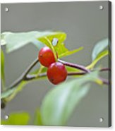 Possum Haw Berries Acrylic Print
