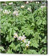 Potato Flower Agriculture Spring Scene Acrylic Print