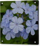 Powder Blue Flowers Acrylic Print