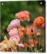 Powder Pink and Salmon Ranunculus Acrylic Print