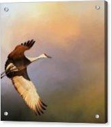 Power Stroke, Sandhill Crane, Bosque Del Apache, New Mexico Acrylic Print
