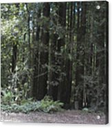 pr 137 - Big Trees Acrylic Print