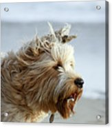 pr 210 - The Shaggy Dog Acrylic Print