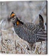 Prairie Chicken Ll Acrylic Print