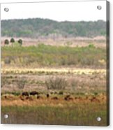 Prairie Bison Acrylic Print