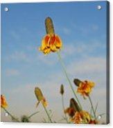Prairie Cone Flowers Against Blue Sky Horizontal Number Three Acrylic Print