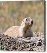 Prairie Dog  9255 Acrylic Print
