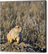 Prairie Dog Alert Acrylic Print