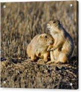 Prairie Dog Couple Acrylic Print