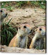 Prairie Dog Family Acrylic Print