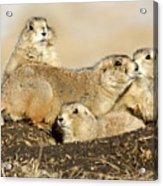 Prairie Dog Family Portrait Acrylic Print