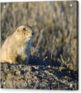Prairie Dog Watchful Eye Acrylic Print