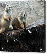 Prairie Dogs Acrylic Print
