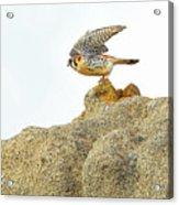Prairie Falcon Acrylic Print
