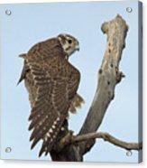 Prairie Falcon Stretching Acrylic Print