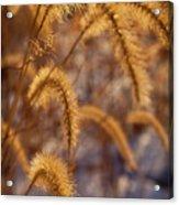 Prairie Grass Detail Acrylic Print