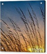 Prairie Grass Sunset Acrylic Print