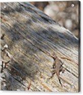 Prairie Lizard _ 1a Acrylic Print