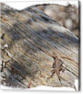 Prairie Lizard _ 1b Acrylic Print