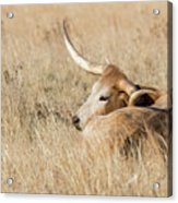 Prairie Longhorn Acrylic Print