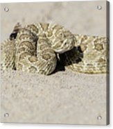 Prairie Rattlesnake  Acrylic Print