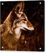 Prairie Wolf Portrait Acrylic Print