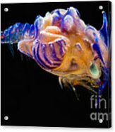 Prawn Larva Acrylic Print