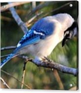 Praying Blue Jay Acrylic Print