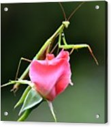 Praying Mantis 2 Acrylic Print