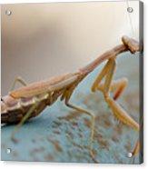 Praying Mantis Close Up Acrylic Print
