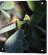 Praying Mantis Acrylic Print