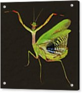 Praying Mantis Acrylic Print