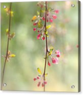 Pre Blossoms Acrylic Print