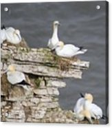 Precarious Nesting Bempton Gannets Acrylic Print