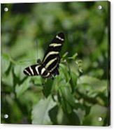 Precious Black And White Zebra Butterfly In The Spring Acrylic Print