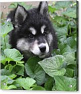 Precious Fluffy Alusky Puppy Dog In Green Foliage Acrylic Print